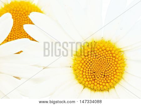 White daisy isolated on a white background.