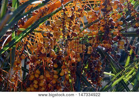 Close up of orange dates fruit of palm tree