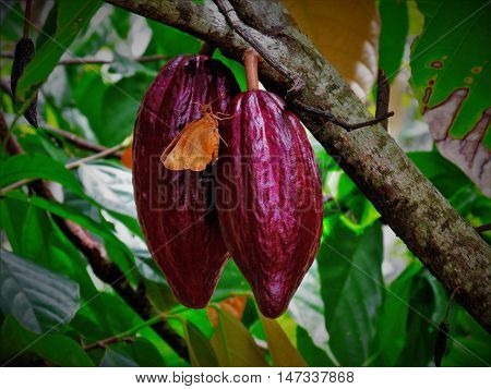 Butterflies in cacao. Location : East Java, Indonesia.
