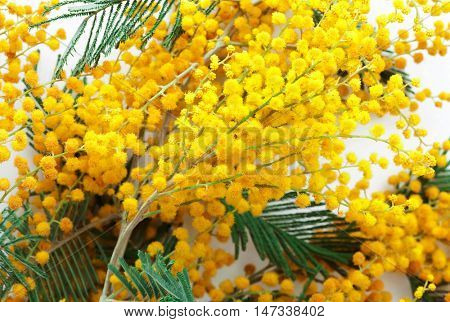 branch fresh and beautiful mimosa close up