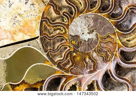 Spiral Ammonite fossil , closeup macro background