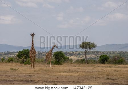 Giraffes in the Wilderness of Masai mara Kenia