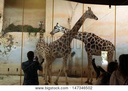 PRAGUE, CZECH REPUBLIC - JUNE 2, 2015: Visitors look at the Rothschild's giraffes (Giraffa camelopardalis rothschildi) at Prague Zoo, Czech Republic.
