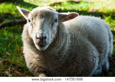 Lamb Laying on a Grass Field at Lindholm Høje