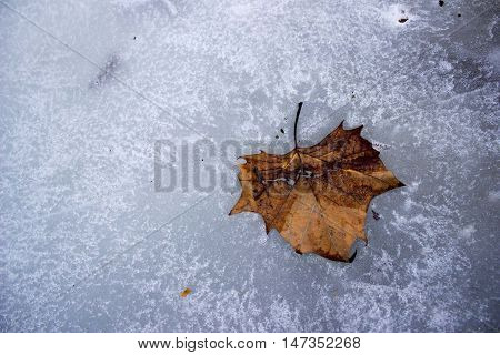 Brown leaf stuck in the frozen lake