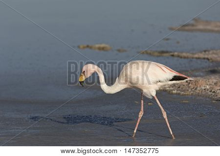Closeup of an Andean Flamingo / Closeup of an Andean Flamingo in a salt lake in Atacama Salar, Chile