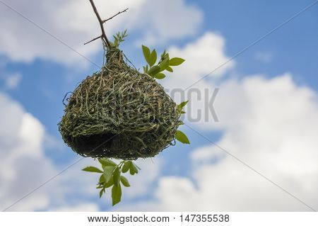 Hanging Birdnest made from grass torn leaves with fresh twigs and leaves woven in against bright blue and white cloud sky