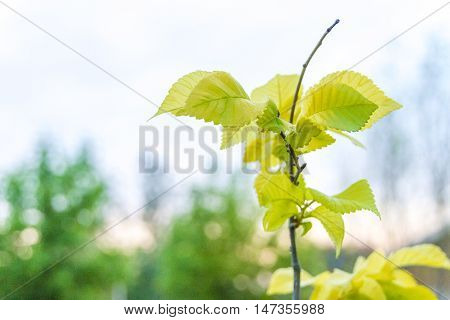 New leaves grow upward from twig buds bright green with blurry background