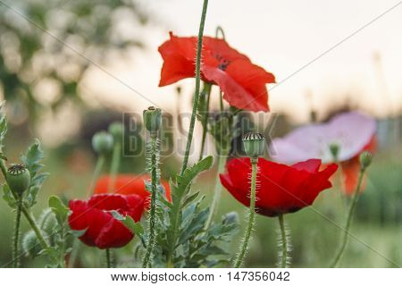 Open and unopened Red Poppy flowers with hairy stems