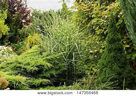 Miscanthus zebrinus Canadian spruce conic evergreen juniper - a fragment of garden landscape