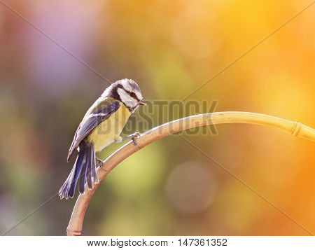 two birds of a blue tit sitting on a branch facing each other and looking up