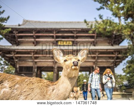 One deer waiting the tourists in front of the Nandai Mon gate in Nara Japan