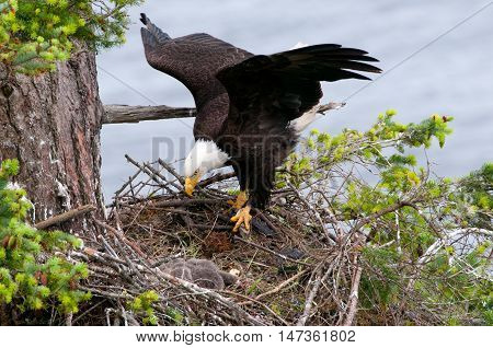 Bald Eagle Arriving at the nest, with open wings. British Columbia, Canada