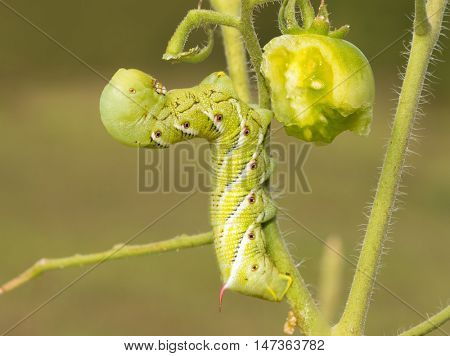 Side view of a Tobacco hornworm moth caterpillar with a half eaten green tomato