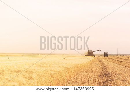 Golden Wheat Field With Blue Sky In Background During The Harvest