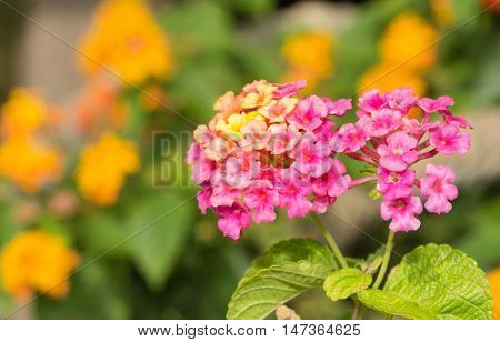 Pink and yellow Lantana flowers with orange ones on the background