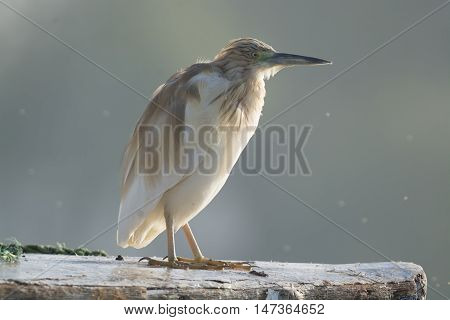 Squacco Heron bird in the wilderness of Nile , Egypt