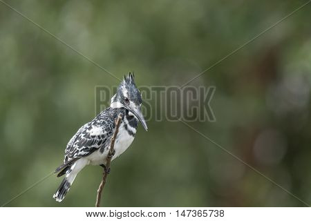 Pied king fisher bird on branch in the wilderness of egypt