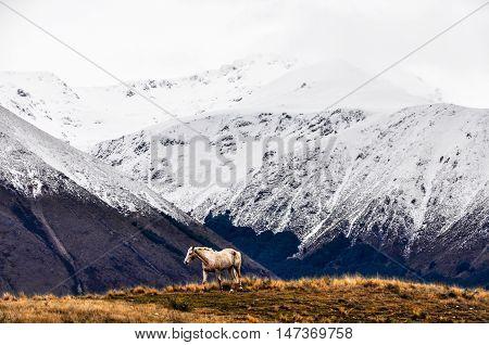 White Horse And Snowy Peaks Near Lake Ohau, New Zealand
