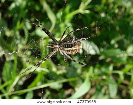 wasp spider sitting on a spider web on a green background.