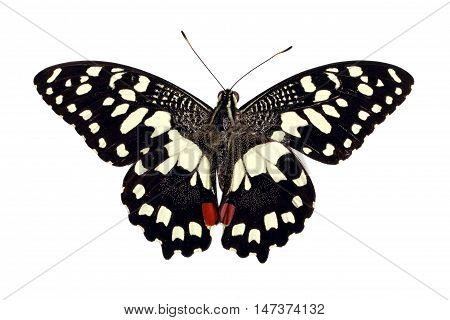 Butterfly Papilio Demoleus isolated on white background