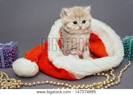 Little kitten British breed marble sits in a Santa hat on gray background