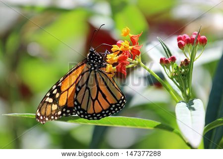 A Monarch butterfly feeding on the nectar of these flowers.