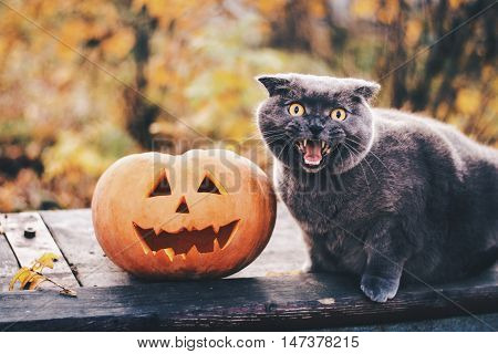 Helloween pumpkin and funny scared British cat