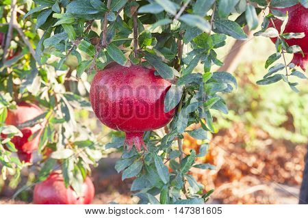 Large Pomegranate On Tree