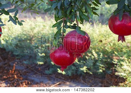 Pomegranates On The Tree