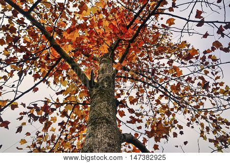 Autumnal scene with yellow orange and red leaves on trees. One of its main features is the shedding of leaves from deciduous trees.