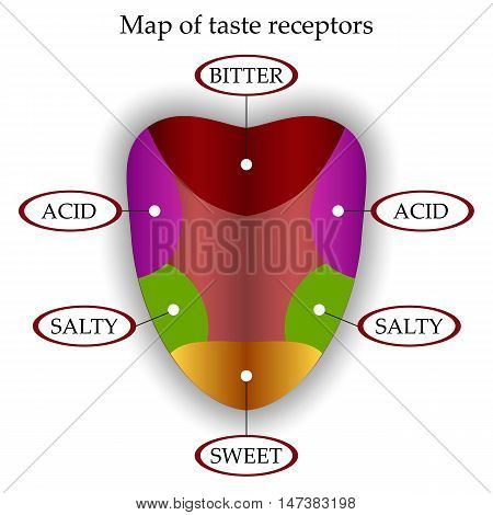 Color map of taste receptors in the tongue four flavors - sweet sour bitter salty. Vector illustration.