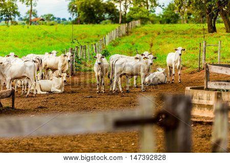 Herd of cattle in pasture, Pantanal, Brazil