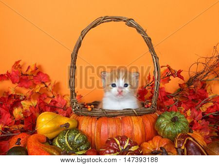 small orange and white tabby kitten sitting in a pumpkin basket surrounded by autumn leaves gourds and squash. Fun festive scene to celebrate autumn and the season of Thanksgiving. Copy space
