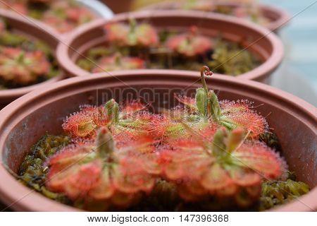 Sundew Carnivorous Plants Drosera Burmannii In Pot