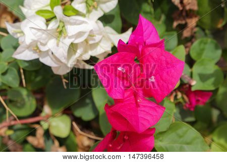 Bougainvillea flower beautiful on the tree Paper Flower  NYCTAGINACEAE