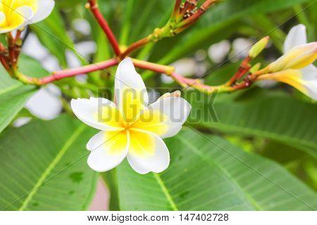 Plumeria flower Desert Rose. beautiful yellow Plumeria on the tree. ( Common name Apocynaceae Frangipani Pagoda tree Temple tree )