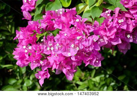 close up pink Bougainvillea flower in nature garden