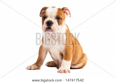 Cute puppy on the white - english bulldog puppy