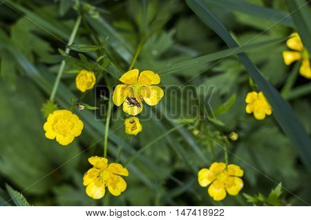 close-up blossoming flower of buttercup (Ranunculus acris)