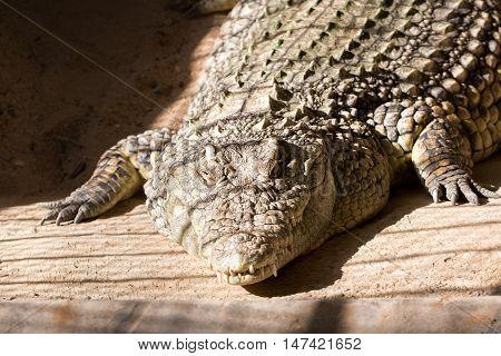 Huge crocodile basking in the sun photo for you