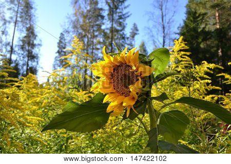 sunflower in sun, sunflower in autumn sun, sunflower opening