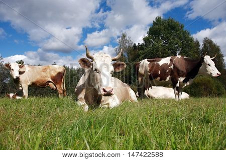 Farming landscape. Few cows on green grass against forest and sky