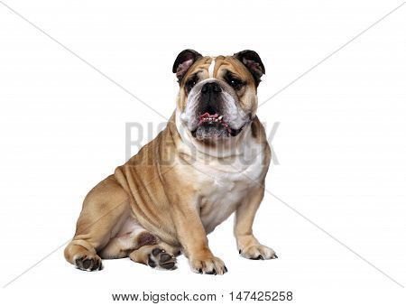 very beautiful smart and funny dog in studio