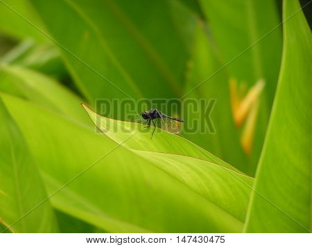 A Black Dragonfly on the Bright Green Leaf