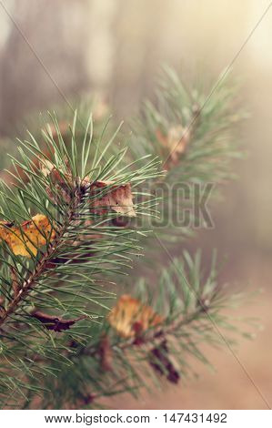 landscape with evergreen tree in the forest at sunset / autumn decorations