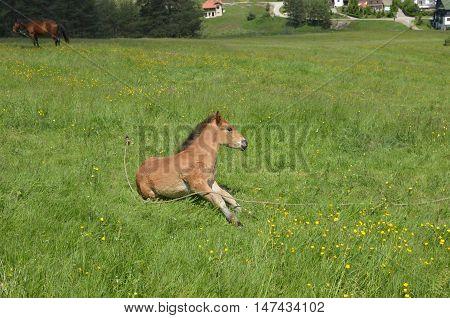 Foal On A Meadow