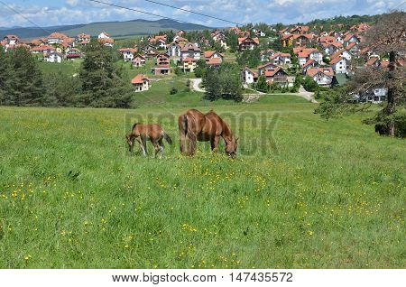 Two brown horses a mare and a foal grazing on a pasture in mountain meadow with settlement in a valley behind them
