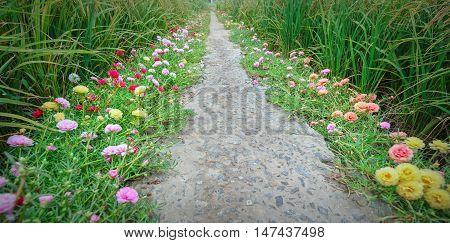 Portulaca grandiflora flower road in the countryside