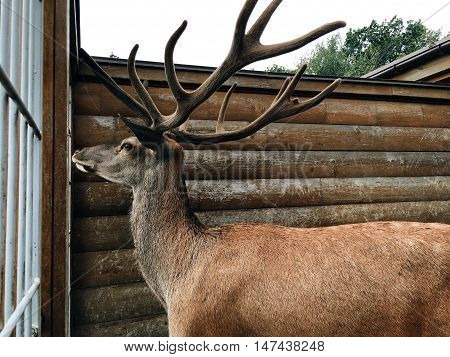 near the wooden fence is beautiful deer with big horns